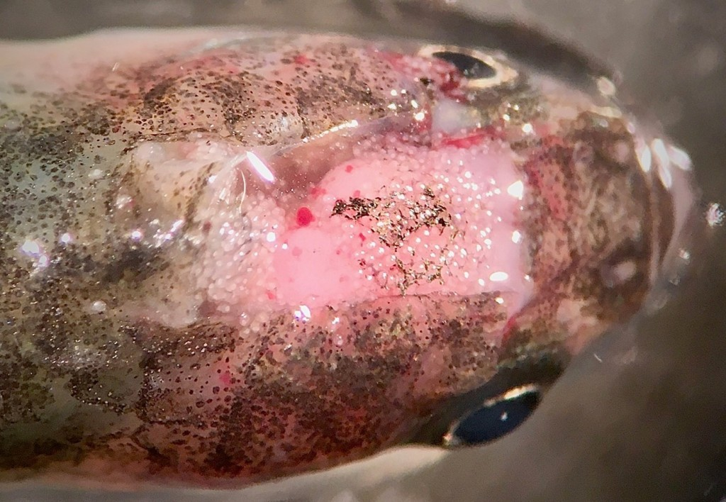 A euthanized California killifish (Fundulus parvipinnis) with its brain exposed, revealing its infection with the trematode parasite Euhaplorchis californiensis. Each of the small dots visible on the brain is an individual parasite. (photo credit Lauren Nadler).