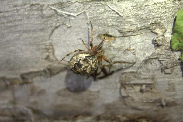 A female orb-weaving spider (Larinioides patagiatus) near a web retreat.