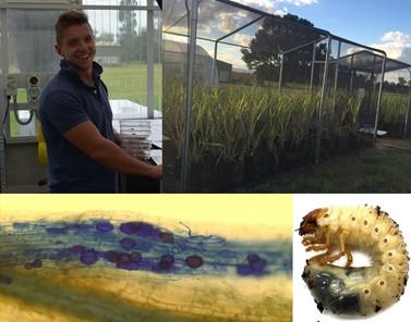 Adam working on a glasshouse experiment during his PhD [top left]; Experimental trial on sugarcane (Saccharum spp. hybrids) [top right]; Arbuscular mycorrhizal fungi colonising sugarcane roots [bottom left]; Cane grub (Dermolepida albohirtum) [bottom right].