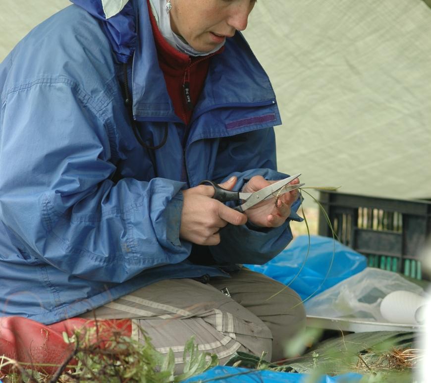 Jitka Klimesova sorting biomass in field