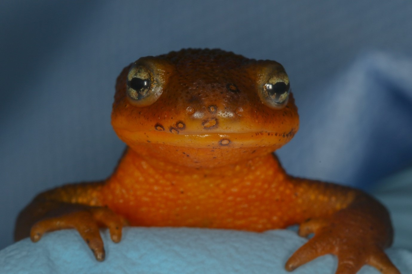 The bullseye-like lesions on the face of this roughed-skin newt (Taricha granulosa) are a result of infection with the emerging fungal pathogen Bsal (photo by Todd Amacker Conservation Visuals).