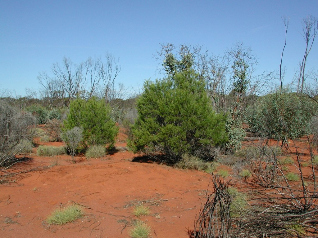 When a fire passed through this woodland, all the greenery was combusted or scorched except the cypress pines (bright green shrubs in foreground, Callitris verrucosa). You can see the skeletal remains of the other shrubs and trees. All the other foliage in this scene is newly grown, from after the fire came through. Photo: F. Scarff.