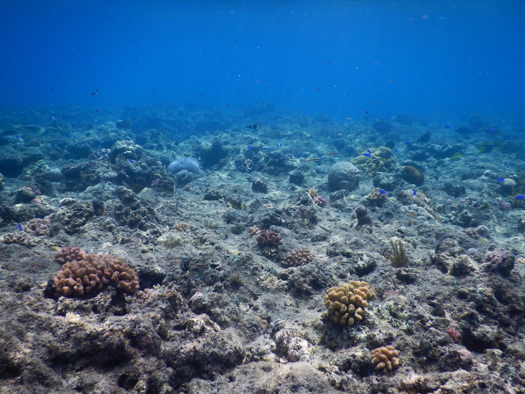 The studied reef has lost most of its coral cover due to two cyclones and two coral bleaching events. Despite some hard and soft coral colonies, most of the reef surface is covered in algal turfs, the favourite food of herbivorous reef fishes. Photo by Renato Morais.
