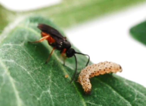 Parasitoid (Microplitis croceipes) and host caterpillar (Helicoverpa zea). Photo credit: Nick Sloff