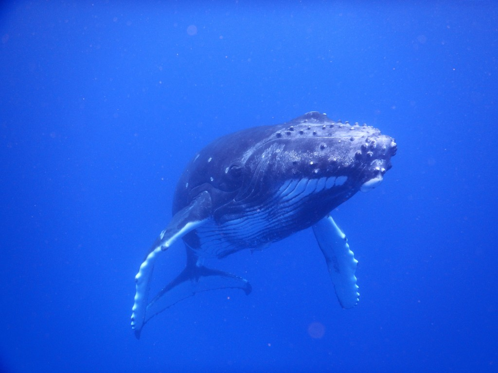During our field work we had a very lucky encounter with a young humpback whale. (photo: Nina Schiettekatte)