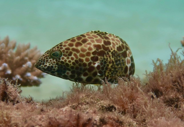 Picture of Epinephelus merra, one of the three study species we used to validate our model. Photo credit: Jordan M. Casey