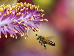 honeybee (apis mellifera) approaches a flower