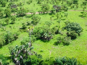 Aerial view showing the patchy structure of the Lamto savanna vegetation. Here, we can see that patches of trees more or less clumped surrounded by open grassy areas. Photo: J. Gignoux