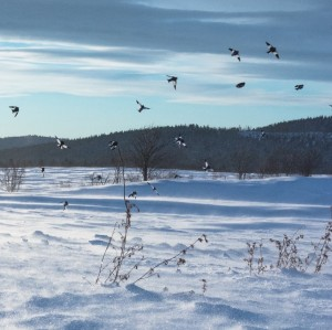 Flight of snow buntings during winter at Rimouski (Québec) (Photo credit: Audrey Le Pogam)