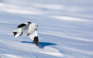 Male snow bunting in breeding plumage (Photo credit: Audrey Le Pogam)