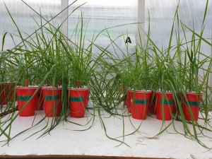 Tall fescue grass plants growing in nutrient solution