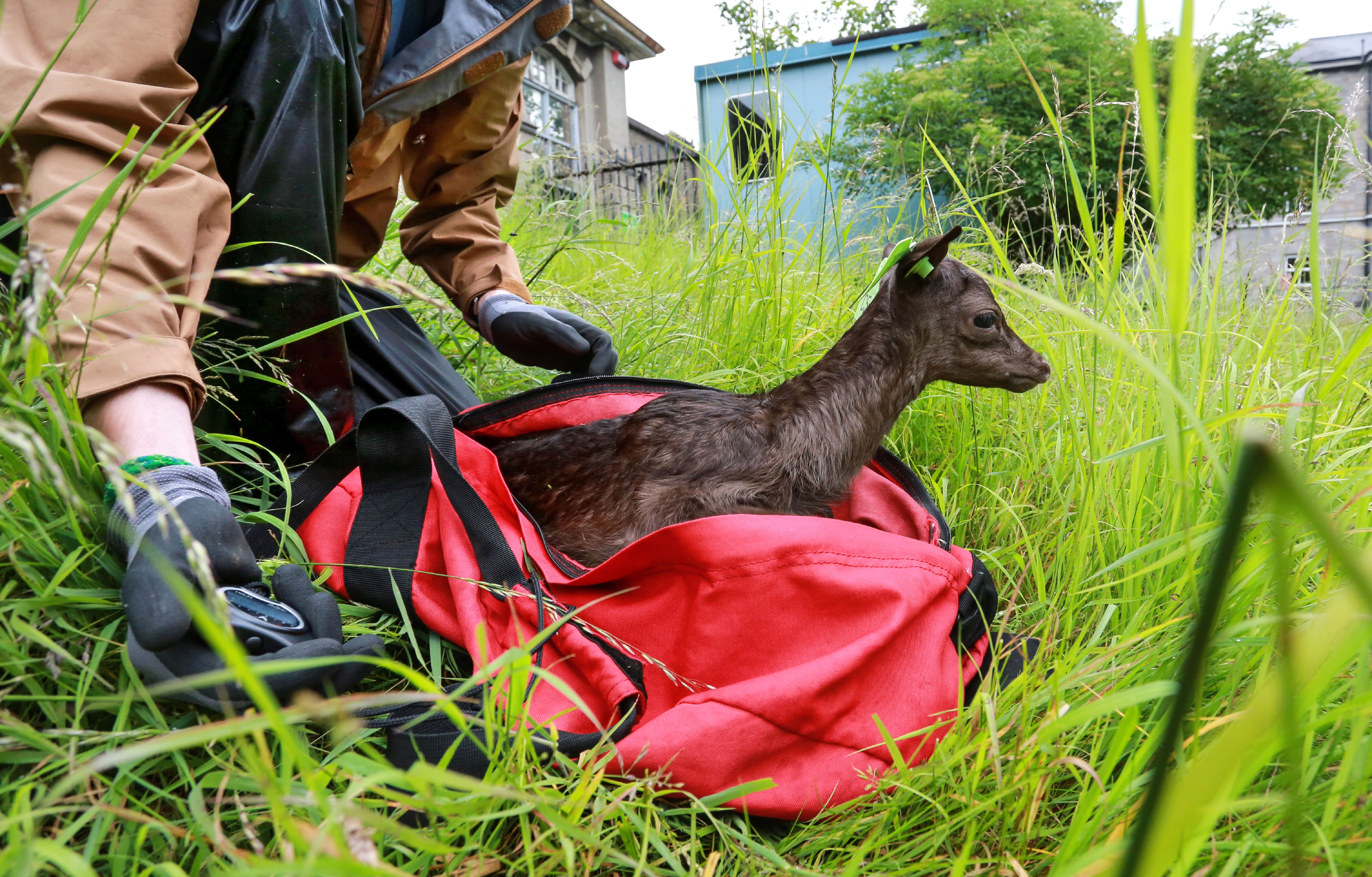 The release of a fawn at the end of the capture (photo by Crispin Rodwell)