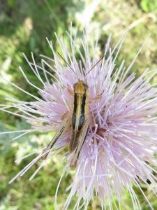 A Melanoplus bivittatus grasshopper on a thistle at Konza Prairie