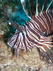 A close-up of an invasive lionfish (Pterois volitans) in The Bahamas. Photo credit: Robert Lamb.