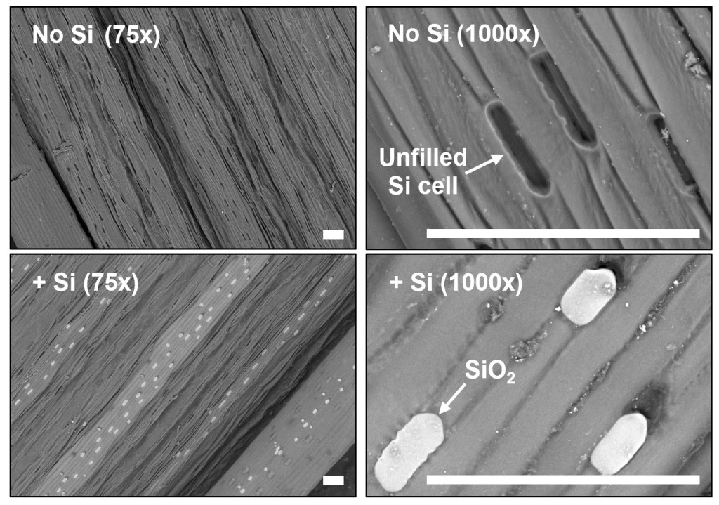 Leaf surface images taken with a Scanning Electron Microscope (SEM) showing silicon crystals in plants treated with silicon (bottom)