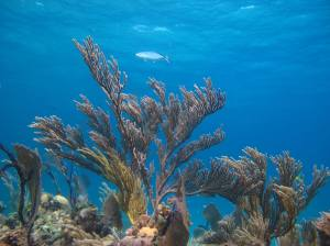 A bar jack (Caranx ruber) swims over a field of soft gorgonian corals near Eleuthera Island in The Bahamas. Photo credit: Lillian Tuttle.
