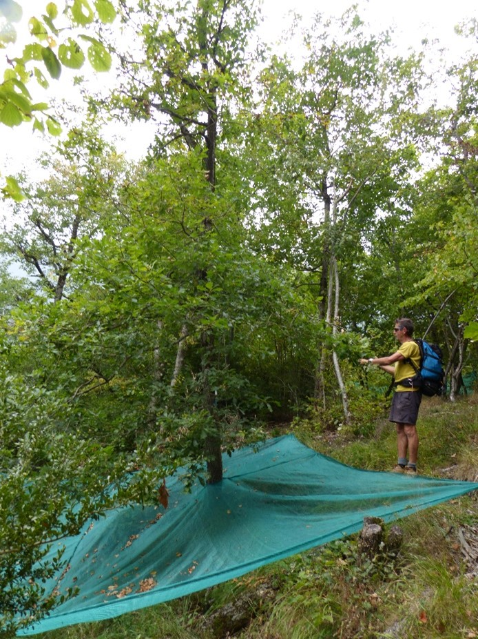 Jean-Marc Louvet, co-author of the paper, inspecting acorn production of a monitored tree from the French Pyrenees.