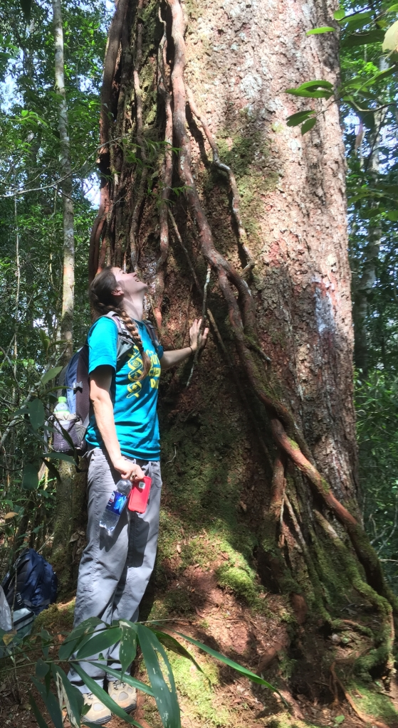 Marveling at the massive size of this Pinus krempfii individual. P. krempfii is a canopy emergent conifer that is endemic to the tropical forests of the Central Highlands of Vietnam. Photo by Kevin Griffin.