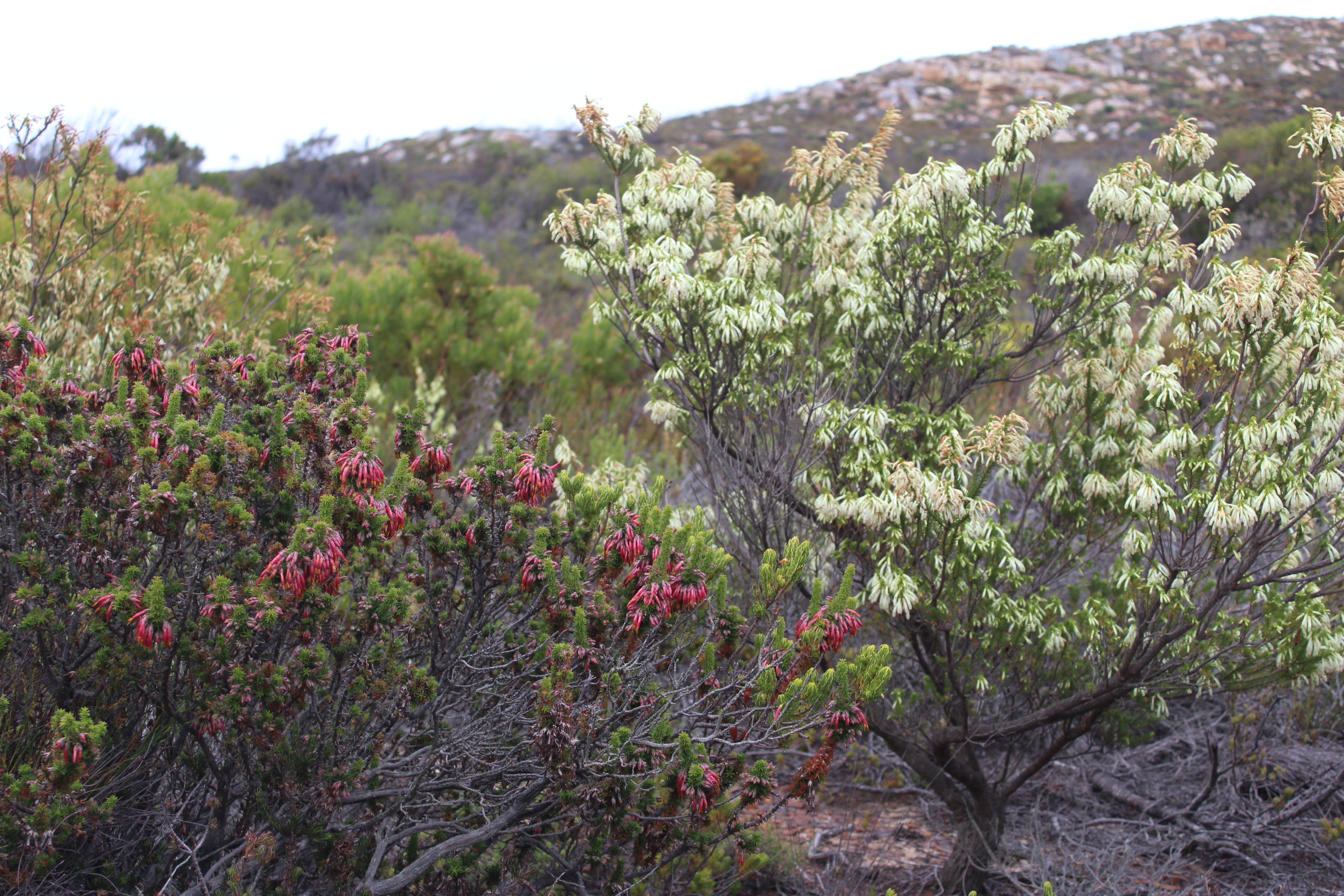 Erica coccinea and Erica mammosa co-occur at the Cape of Good Hope section of Table Mountain National Park and share a pollinator species.