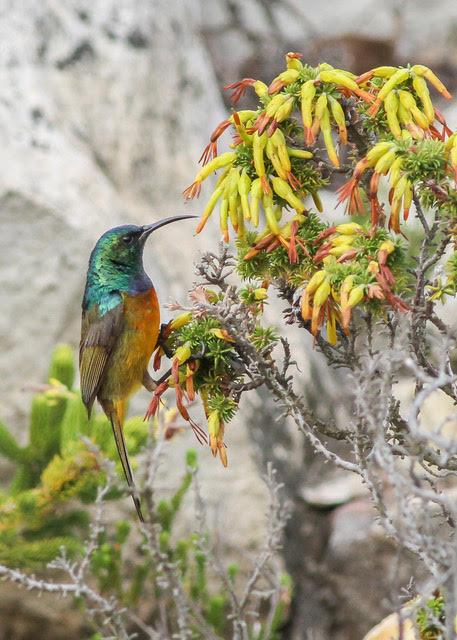 Orange-breasted Sunbird visiting Erica coccinea (credit Callan Cohen)