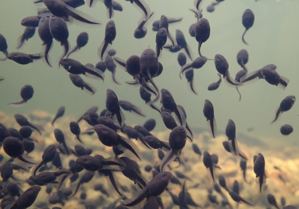 Aggregation of toad tadpoles. Photo by Nikolett Ujhegyi.