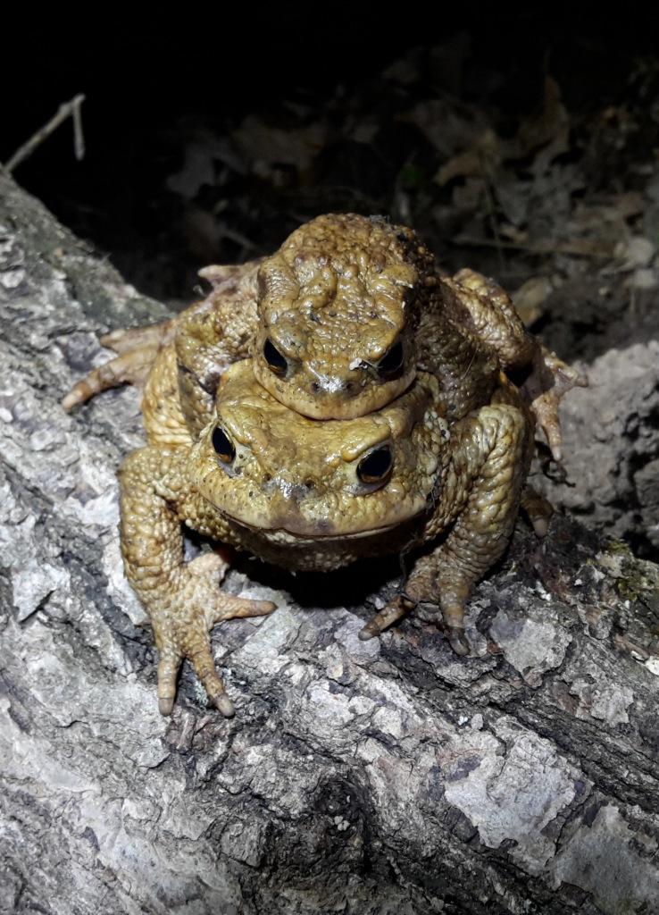 Adult toads in amplexus.