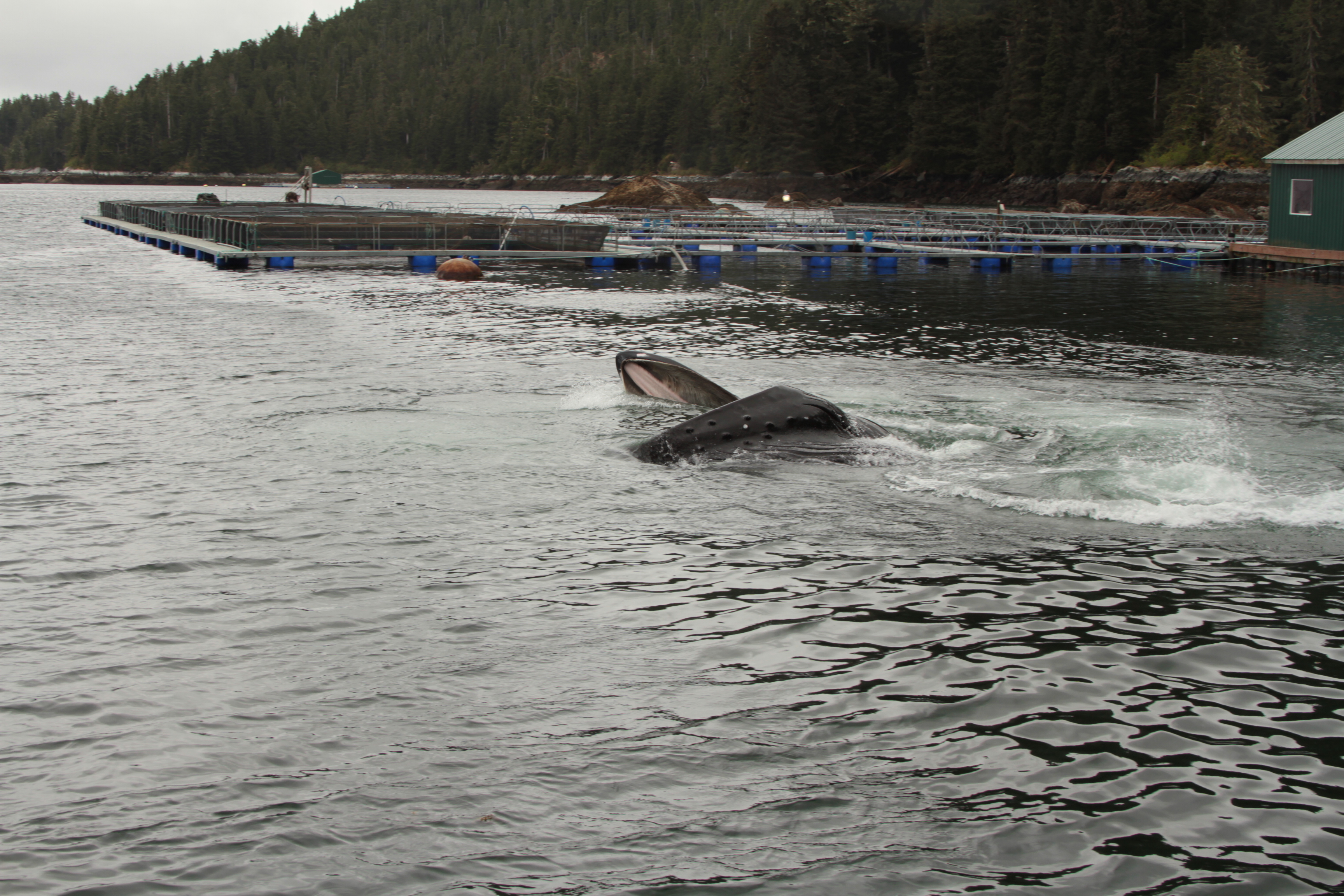 Humpback whale feeding on juvenile salmon at Hidden Falls Hatchery. Photo by Monique Anderson. NOAA Fisheries Permit 14122