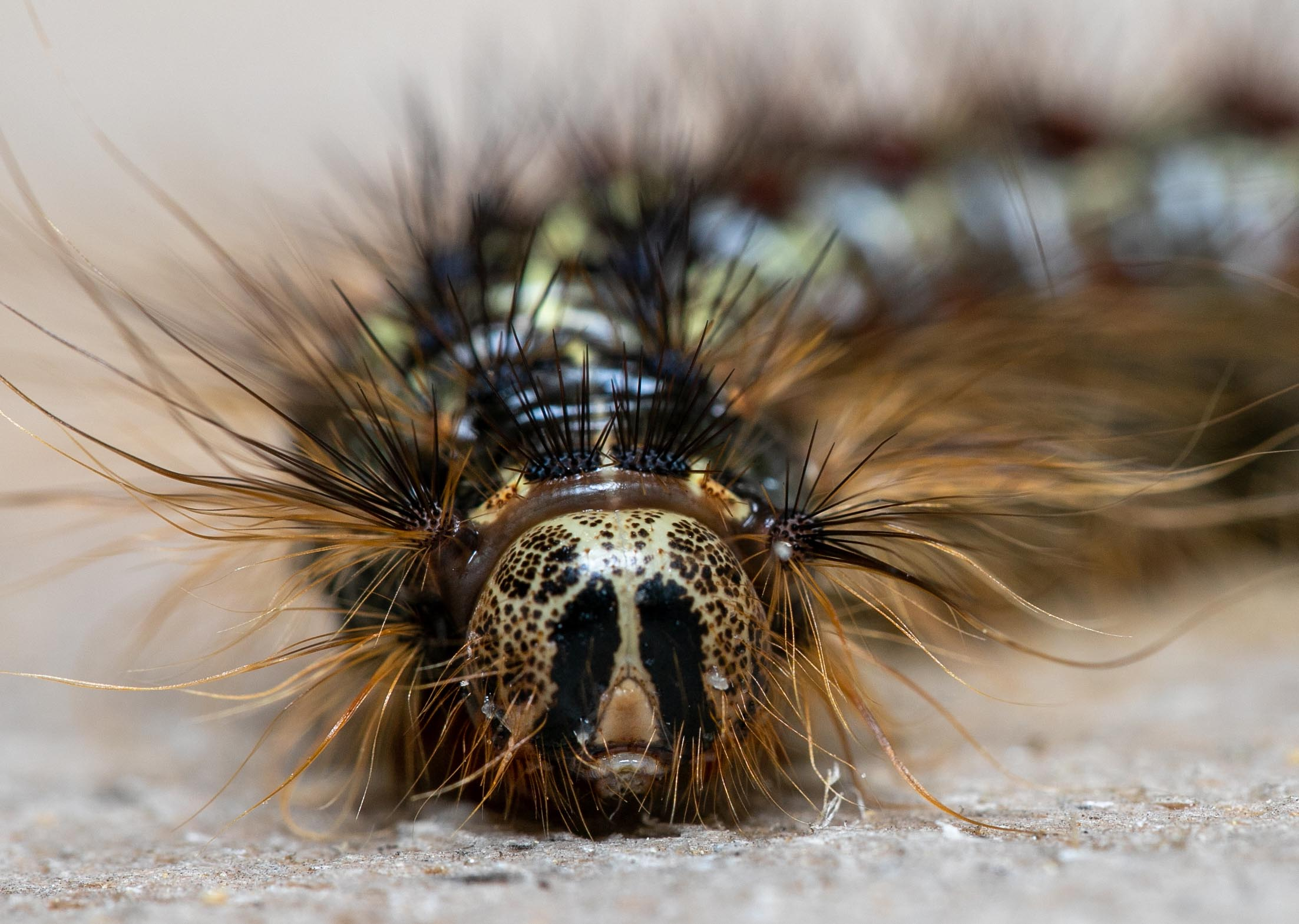 Lymantria dispar (caterpillar shown here) is one of the most destructive invasive insects in North America. Defoliation by this insect can kill oak trees by draining the trees' energy reserves. Photo credit: Nathan Oalican.