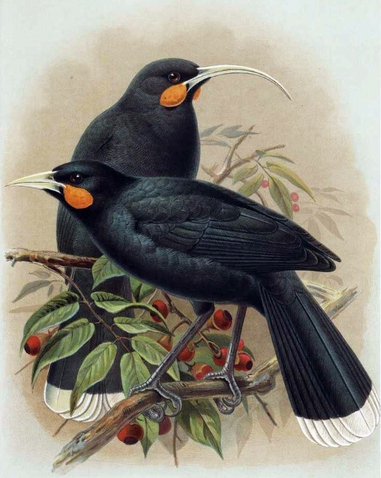 An illustration by Keulmans of a pair of Huia, a New Zealand endemic speces that went extinct in the early twentieth century. The species was exceptionally sexually dimorphic, with the female having a long curved beak and the male's beak being shorter and not curved. This plate was published in Buller's (1888) A History of the Birds of New Zealand, Volume 1 (2nd ed.). Image retrieved from Wimikedia Common [https://commons.wikimedia.org/wiki/File:Huia_Buller.jpg] and in the public domain.
