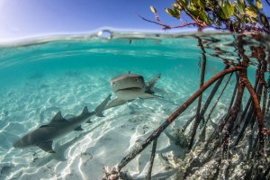 When the tides are highest, predators can get closest to the shore line. In this case, juvenile lemon sharks can be found in big groups along the mangrove shore where they are safest. Photo © Chelle Blais