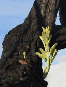 Moquiniastrum polymorphum resprouting branches after fire