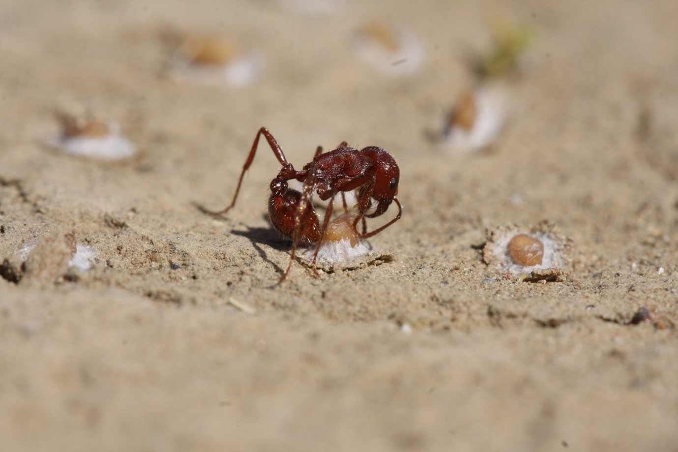 A harvester ant (Pogonomyrmex subdentatus) attempting to dislodge a mucilage anchored seed (Gilia leptantha). Photo by Eric LoPresti.