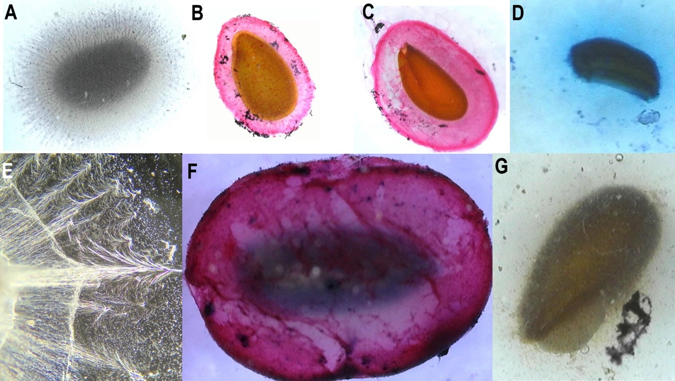 (A) Ocimum tenuiflorum (Lamiaceae) stained with Lugol's iodine with visible starch granules alongside cellulosic fibrils; (B, C, F) Linum grandiflorum (Linaceae), Lepidium sativum (Brassicaceae), and Salvia coccinea (Lamiaceae) stained with Ruthenium red that shows pectic sugars; (D) Matricaria chamomilla (Asteraceae) stained with methylene blue that shows cellulosic sugars; (E) Dried L. sativum mucilage under phase contrast with branching fibrils; (G) Unstained Salvia Rosmarinus (Lamiaceae).